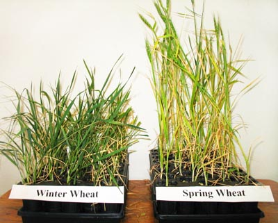 growout-spring-winter-wheat