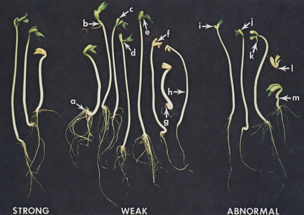 seedling-vigor-classification