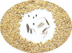 wheat-seeds-and-contaminants